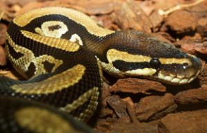 ball python snake head