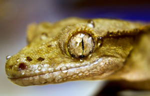 crested gecko vivarium