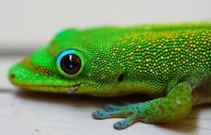 bright green gecko