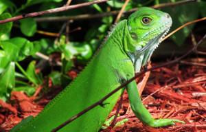 green iguana cage