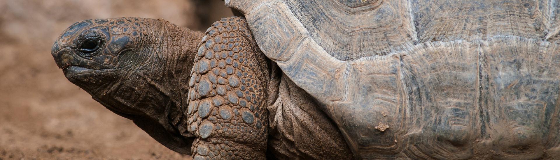 tortoise side view