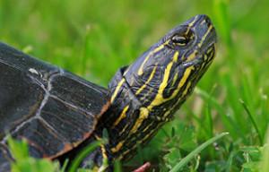 turtle lifting head