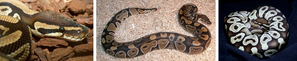 three ball pythons