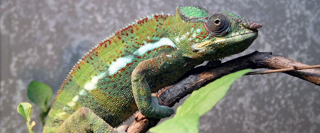 chameleon vivarium advice and tips