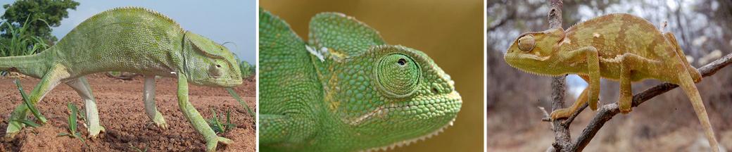 three green chameleons