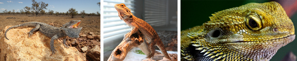 bearded dragon pet ownership tips