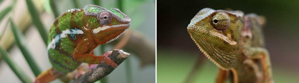 two chameleon species in one terrarium
